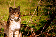 A bobcat is photographed at Lewisville Lake on June 30, 2012.