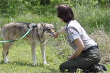 Lewisville Lake park ranger Paula Rafferty lets a wolf pick up her scent during an outing at the recreation area in The Colony, Texas, April 16, 2013.